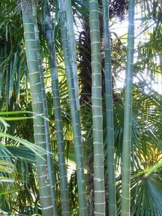 Dypsis baronii stems, Kerikeri, NZ. Palm and Cycad Society of New Zealand