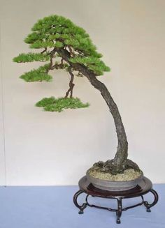 Bonsai is generally a tree or plant that has actually been kept smaller sized than its typical size. The technique to making a bonsai plant is to frequently prune the tree every spring Bonsai Tree Care, Bonsai Tree Types, Indoor Bonsai Tree, Bonsai Art, Bonsai Plants, Bonsai Garden, Bougainvillea Bonsai, Bonsai Making, Pine Bonsai