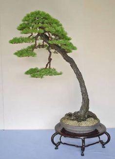 White Pine Bonsai, Literati style (Bunjingi).