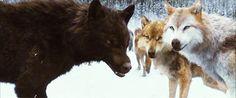 twilight werewolf gif - Google Search