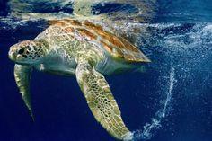 Em Média 144 animais morrem por dia, ou seja  Mais de 2,6 mil tartarugas foram encontradas mortas no Litoral nos últimos seis meses - De Ponto a Ponto - Notícias - Diário Catarinense