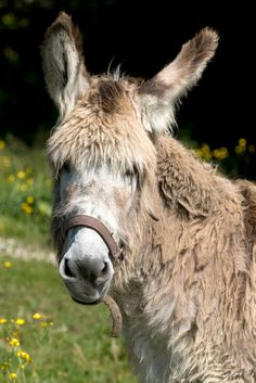 Grisette, anesse Cotentine .. Cute Donkey, Donkeys, Beautiful Horses, Cottages, Greece, Photos, Carrots, Pebble Stone, Normandie