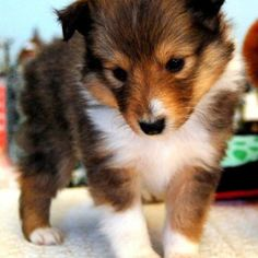 Baby sheltie - lol oh love! Oh the memories... <3