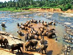 Pinnawela Elephant Orphanage is an orphanage and breeding ground for wild elephants which is situated northwest of the town of Kegalle, Sri Lanka. It was established in 1975 by the Department of Wildlife Conservation on a 25-acre (10 ha) coconut plantation on the Maha Oya river.