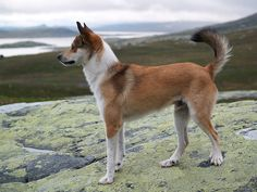Norwegian Lundhunds probably travled with Vikings to what is now Canada.