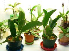 Paixão por orquídeas - Meu orquidário: Como dividir a minha orquídea?