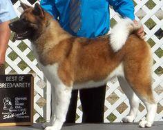 akita puppies, MITSUKO AKITAS Fayetteville, OH TEAKA