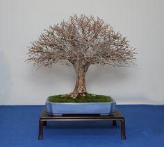 display – Shohin Bonsai Europe – Morten Albek