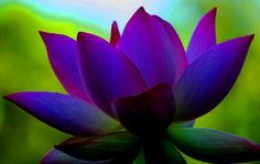 lotus flower | lotus flower in shade description extreme saturation the background ...