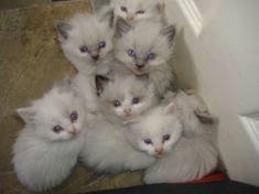 Ragdoll kittens.