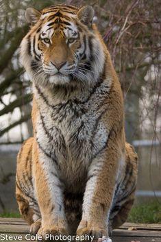 Amur Tiger - null