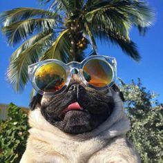 Pug, de óculos como não amar?