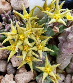 Piaranthus geminatus