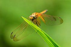Dragonfly by Sue Hsu on 500px