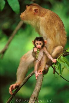 Pig-tailed macaque mother and infant, Macaca nemestrina, Bako National Park, Borneo  © Frans Lanting
