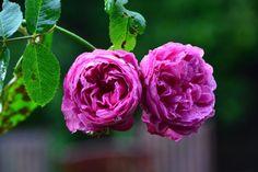 Louise Odlier  vielä kukkii