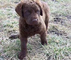 Chesapeake Bay Retriever Pup ~ Classic Look Dog Breeds Pictures, Puppy Pictures, Chesapeake Bay Retriever Puppy, Puppy List, Amber Eyes, Waterproof Coat, Puppy Breeds, Classic Looks, Make Me Smile