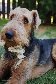 Anyone with an Airedale knows that look..