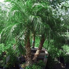 Pygmy Date Palm #307   If you're looking to add a tropical accent to your landscape, definitely consider Pygmy Date Palms in your design! These soft, tropical palms feature many trunks of varying height or can be grown with just a single trunk. These dwarf palms are great in smaller yards or near pools and make excellent accents when planted near larger, upright palms.