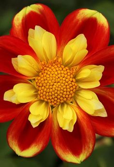 ☆ Collarette dahlia 'Pooh' at the National Dahlia Collection in Penzance :¦: By Brian Haslam ☆