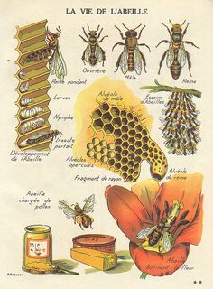 ~~~Illustrated life cycle of a bee.