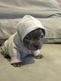 En mode boxeur... ...Blue French Bulldog Puppy in a Hoodie.