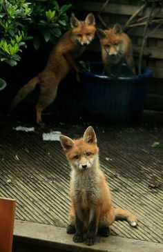 Red Fox Cubs by ozchris2 - Chris Stonehouse
