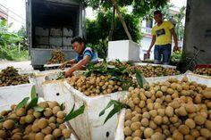 Mùa long nhãn bắt đầu từ tháng 6 và kết thúc vào cuối tháng 8 âm lịch, là nghề mang lại nguồn thu nhập chính cho người dân làm nhãn tại Phố Hiến, Hưng Yên