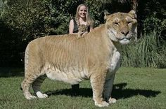 Hercules, the largest living cat on Earth   Jungle Island, an interactive animal theme park in Miami, is home to a liger named Hercules, the largest non-obese liger, who is recognized by the Guinness Book of World Records as the largest living cat on Earth, weighing over 410 kg (904 lb). When he was only 3 years old and already weighed 408.25 kg (900 lb). Hercules is completely healthy and is expected to live a long life. The cat's breeding is said to have been a complete accident.