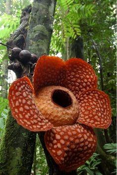 """See it. Believe it. Smell it. Rafflesia """"Parasitic Flower"""", biggest flower in the world. #Rafflesia #flower"""