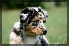 Australian Shepherd Deckrüden,Australian Shepherd Rüden,Australian Shepherd Züchter,Deckrüden,Aussies,Welpen - Bildergalerie - Nachzucht Jer...