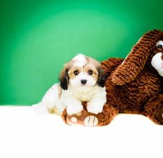 AffordablePup has large varities of gorgeous cavachon puppies for sale. AKC registered cuddly and very loving Cavachon Ohio puppies.