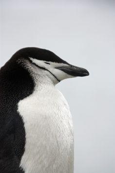 Penguins, Islands, Trips, Wildlife, Website, Pictures, Viajes, Photos, Penguin