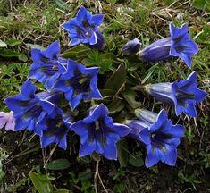 Gentians #enzian http://centerofthewebb.ecrater.com/p/24023349/blue-true-alpen-enzian-gentian?keywords=Blue