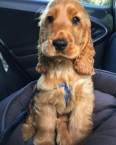 To be featured. To be featured From: Credit: Tag your friends below DM us for credit if you are owner. Cocker Spaniel Anglais, English Cocker Spaniel Puppies, Golden Cocker Spaniel, Cute Dogs Breeds, Dog Breeds, Cute Baby Animals, Animals And Pets, Cute Puppies, Dogs And Puppies