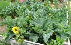 Collards Raised Bed - Filling in around collards with other plants—such as the spinach, onions, flowers, and herbs in this raised bed—helps keep a bed or container looking fresh as you harvest the bottom leaves