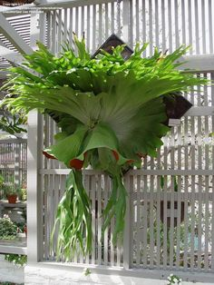 I have a baby one in the patio garden! Today's bloom is Staghorn Fern (Platycerium superbum) Unusual Plants, Rare Plants, Exotic Plants, Tropical Garden, Tropical Plants, Plantas Bonsai, Ferns, Trees To Plant, Houseplants