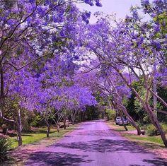 Lavender carpet of jacaranda flowers in Brisbane...