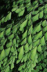 Adiantum andicola Maidenhair Fern, Ferns
