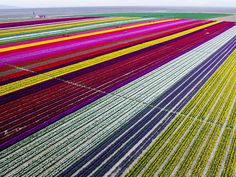 Colourful tulip fields, sized 300 decare, which have been opened to public for two days in Karatay, Konya (Turkey) on April 13, 2016. Picture: Getty