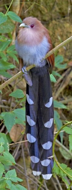 The 'Squirrel Cuckoo' is a large and active species of cuckoo found in wooded habitats from northwestern Mexico to northern Argentina and Uruguay, and on Trinidad.