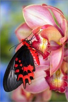Bat-wing Butterfly
