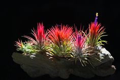 Tillandsia - beautiful air plants