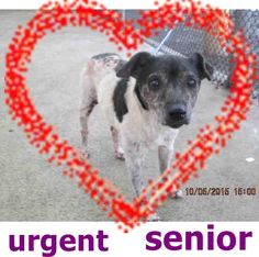 BUD (A1730120) I am a male white and black Rat Terrier mix.  The shelter staff think I am about 10 years old.  I was found as a stray and I may be available for adoption on 10/11/2015 — hier: Miami Dade County Animal Services. https://www.facebook.com/urgentdogsofmiami/photos/pb.191859757515102.-2207520000.1444092839./1056956264338776/?type=3&theater