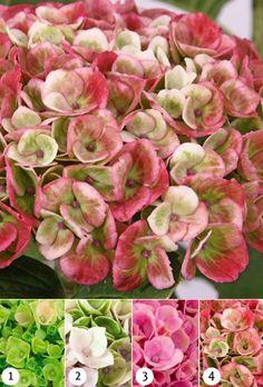 Hydrangea macrophylla Magical Revolution Pink x1 Hydrangea Paniculata, Hanging Baskets, Summer Colors, Revolution, Evergreen, Shrubs, Planting Flowers, Succulents, Vibrant