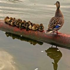 Just getting her ducklings in a row.I love little ducklings! They are sooo sweet! Animals And Pets, Baby Animals, Funny Animals, Cute Animals, Wild Animals, Baby Cats, Pretty Birds, Beautiful Birds, Animals Beautiful