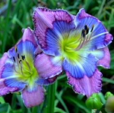 75.00  http://www.eurodaylily.com/user/cimage/Forty-two-2---Townsend-2013.jpg