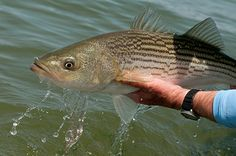 Expert saltwater fishing tips and advice on fishing rigs, fishing knots, fish species and more from Salt Water Sportsman. Trout Fishing Tips, Fishing Rigs, Pike Fishing, Fishing Knots, Fishing Guide, Bass Fishing, Fishing Poles, Fishing Stuff, Going Fishing