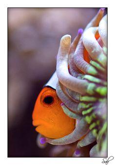 clownfish (ocellaris) in coral
