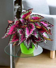 Blattbegonie -          Die Blattbegonie (Begonia rex) hat eine ganz bezaubernde Blattzeichnung. Mal scheint die Farbe silbrig, fällt das Licht anders, dann erscheint sie rosa oder grün.